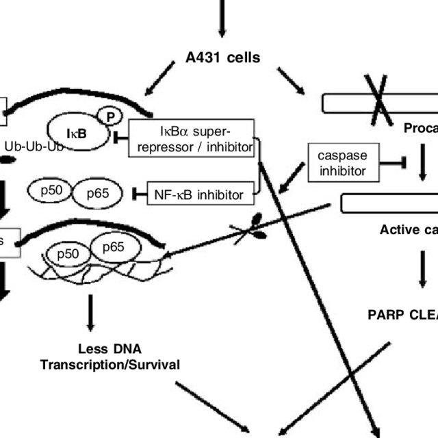 Schematic representation for caspase activation