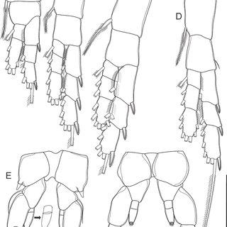 Eucyclops elegans (Herrick, 1884) adult females. (A) P2