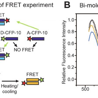 WXG100 proteins form dimeric complexes, studied using FRET