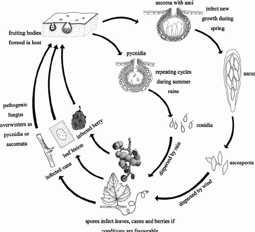Schematic representation of the life cycle of Phyllosticta