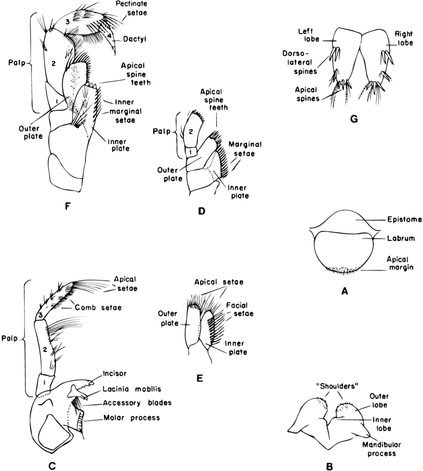 Basic gammaridean amphipod mouthparts and telson (not to