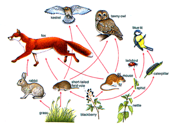 simple food chain diagram auto wiring system a typical web used in school textbooks to show who eats... | download scientific ...