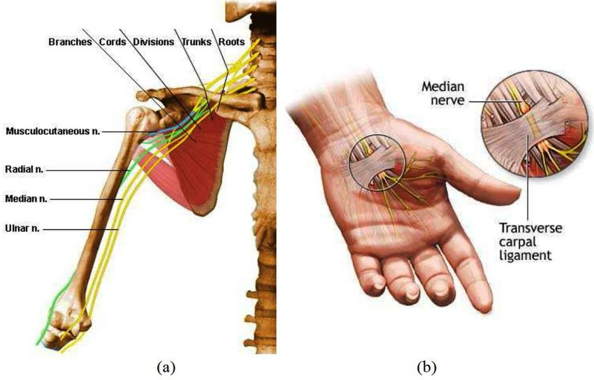 wrist and hand unlabeled diagram top hat trailer wiring palm muscle great installation of 2 a nerves muscles in upper limb b median nerve at rh researchgate net leg