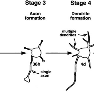 (PDF) The role of Rho GTPases in neuronal development