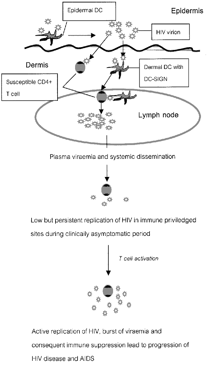 medium resolution of diagram to show the likely route of hiv entry and dissemination following primary hiv 1