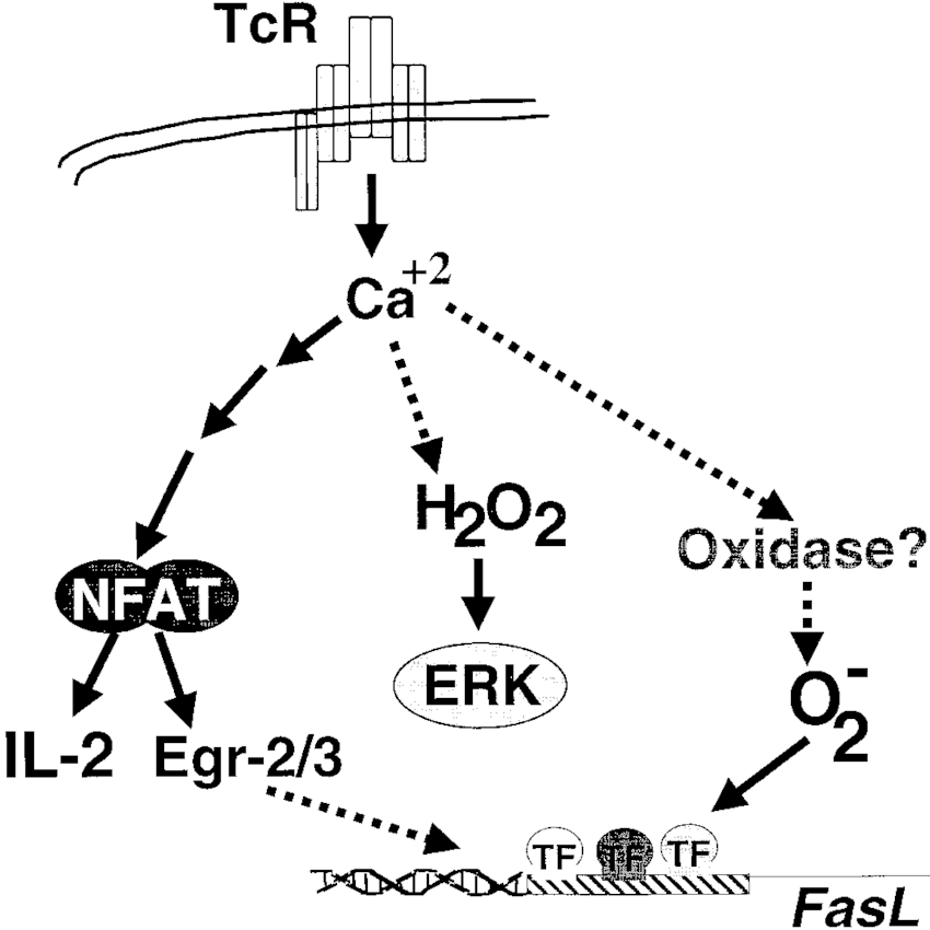 Proposed scheme for TCR-stimulated ROS generation. TCR