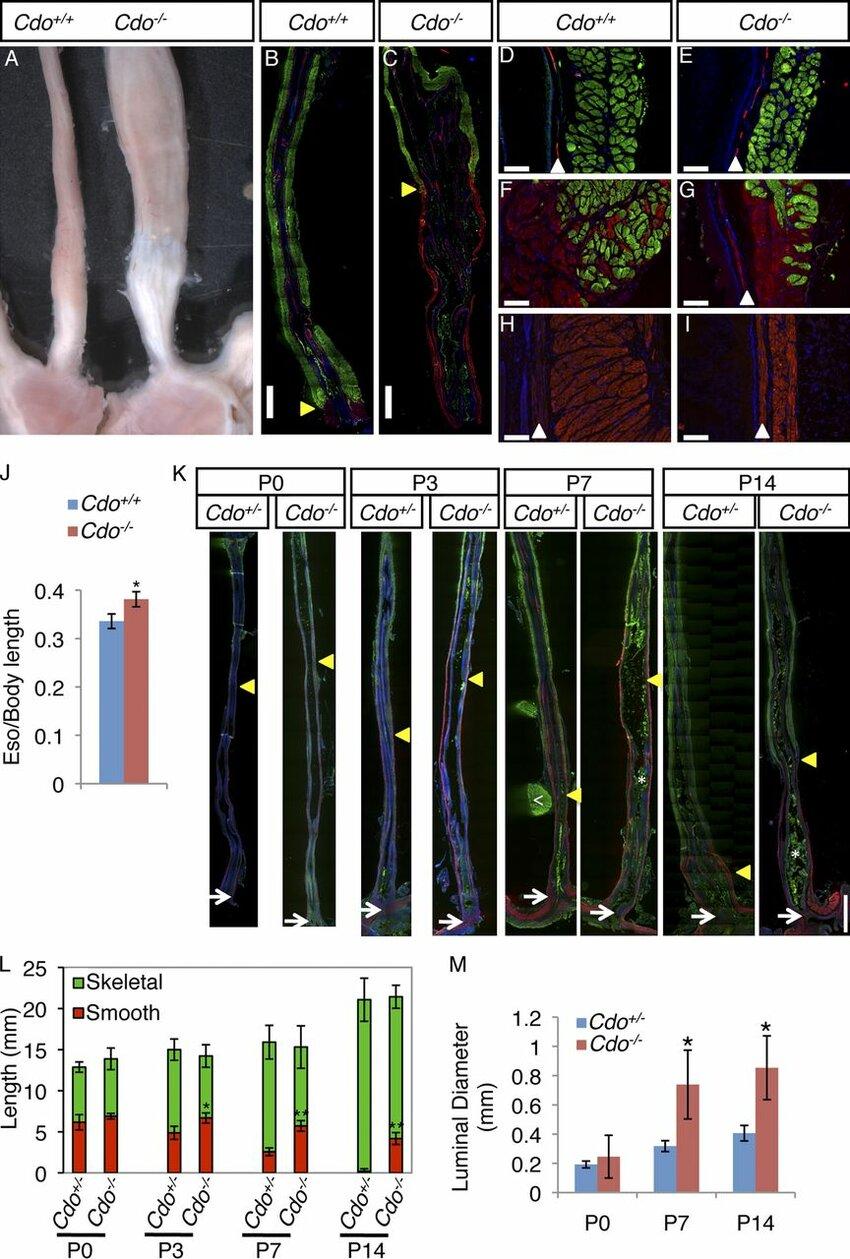 medium resolution of cdo mice have megaesophagus and display defective proximal to distal progression