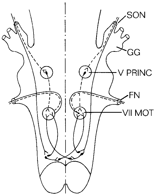 The blink reflex arc. The circuit for the oligosynaptic R1