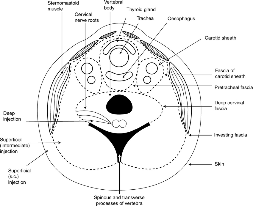Drawing of a cross-section of the neck at the C4 vertebral