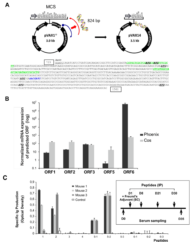 Cloning and characterization of pVAX14. A. Schematic