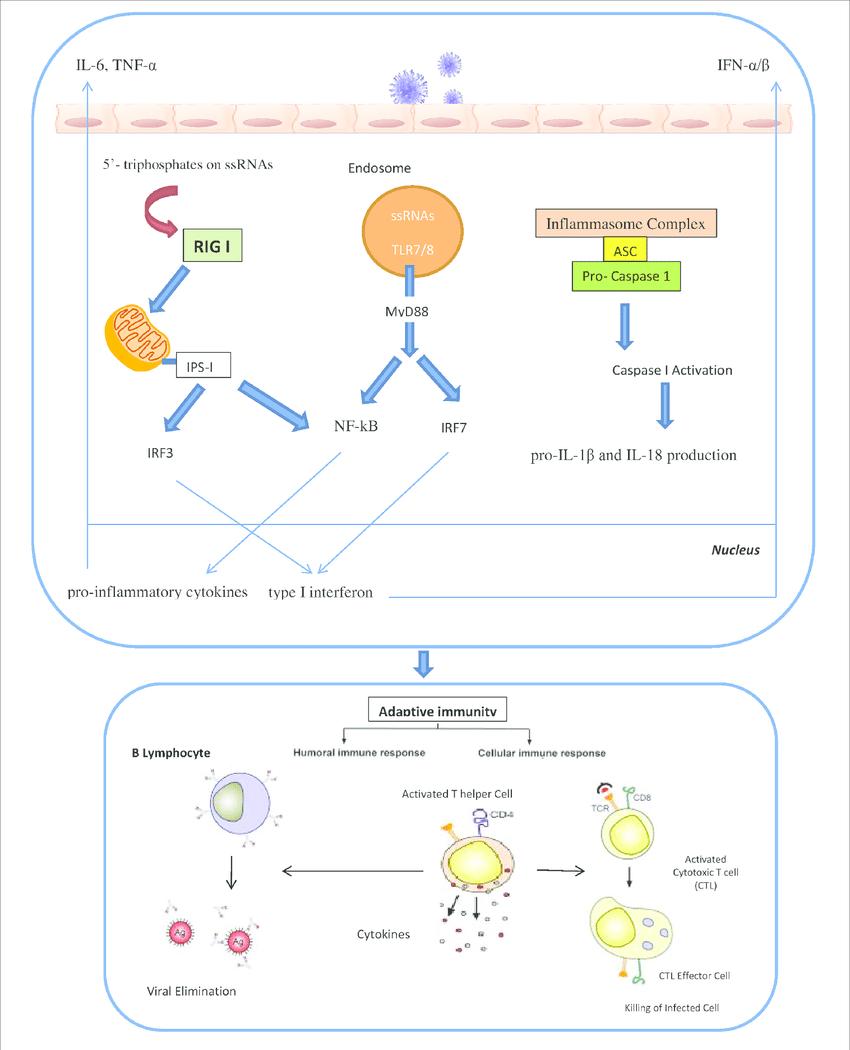 hight resolution of the innate and adaptive immunity against influenza virus