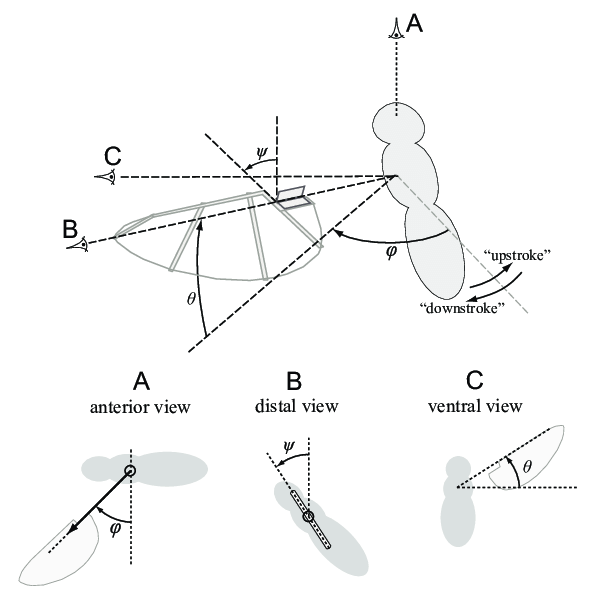 Kinematic description of wing motion for hovering flapping ...