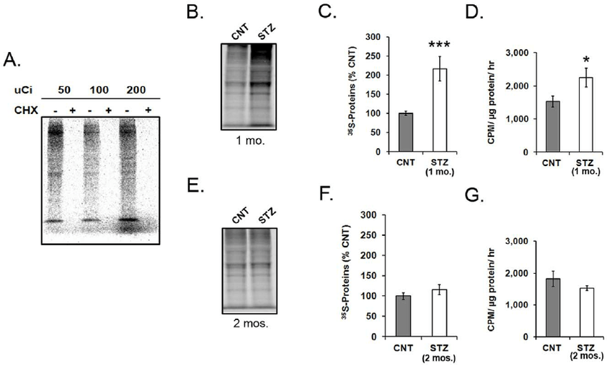 mRNA translation in explant retinas form diabetic and