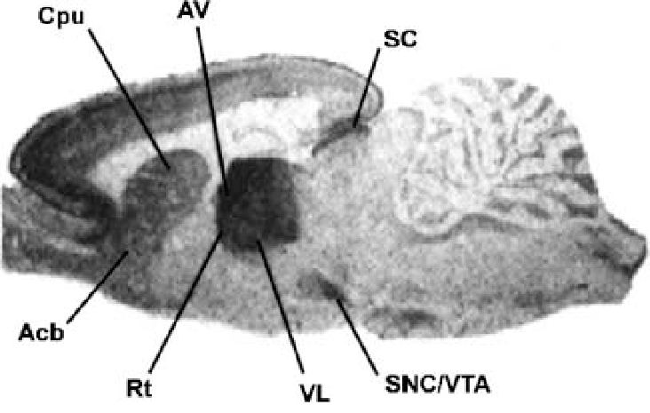 Ratanatomydiagram Rat Brain Ventral View Diagram