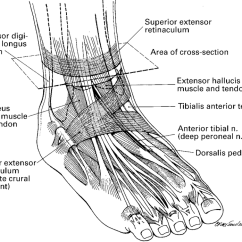 Front Leg Ligament Diagram Clipsal Water Heater Switch Wiring Showing The Tendons And Ligaments Of Ankle Foot Involved In Surgical Decompression