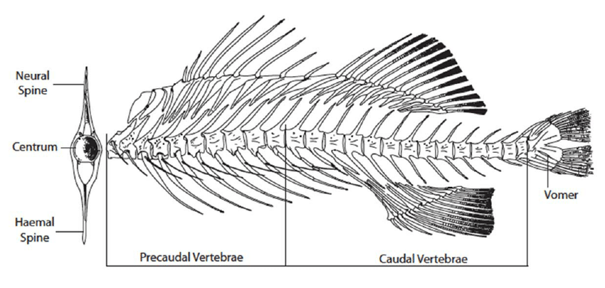 Schematic diagram of fish post-cranial skeleton showing