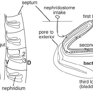 Anatomy of earthworm nephridia and location of the
