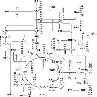 (PDF) Oxygen Response of the Wine Yeast Saccharomyces