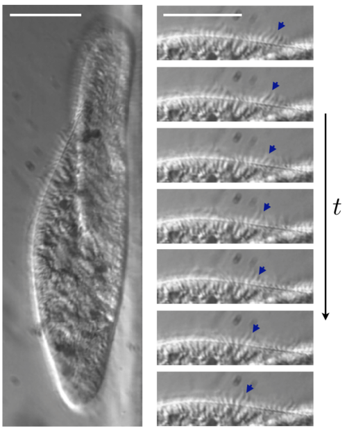 small resolution of paramecium swimming using metachronal waves hoffman modulation contrast microscopy 40x magnification left