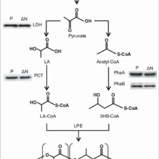 P(LA-co-3HB) synthesis pathway and immunoblot analysis of