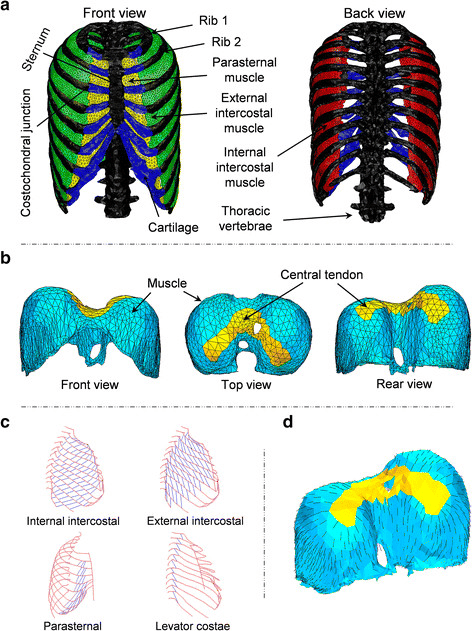 diagram of rib cage and muscles tool to draw sequence fem model the thorax a respiratory vertebrae b diaphragm c fibre orientation intercostal as measured by loring