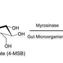 Hydrolysis of glucoraphanin by myrosinase or gut