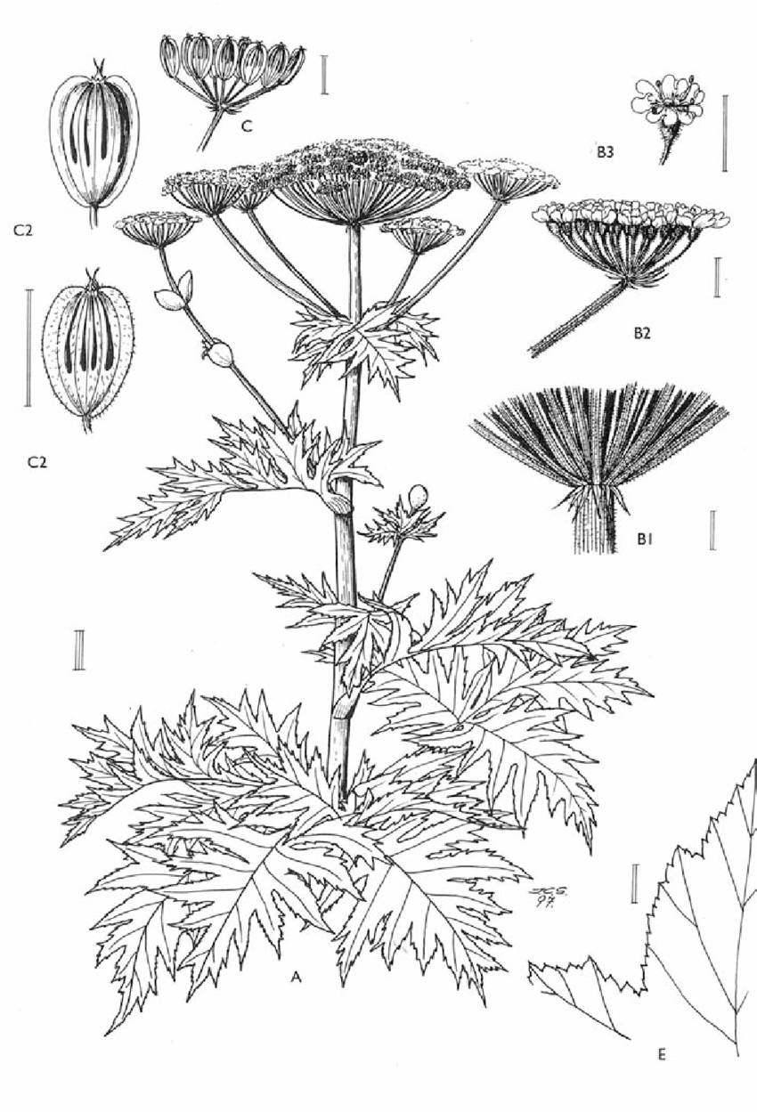 Heracleum mantegazzianum Sommier & Levier (drawing from