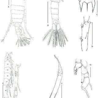 (PDF) First record of Eudiaptomus gracilis (G.O. Sars