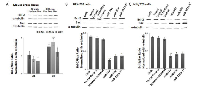 Bcl-2/Bax ratios in calorie-restricted mouse brain tissue
