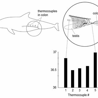 (PDF) Functional Anatomy of the Cetacean Reproductive