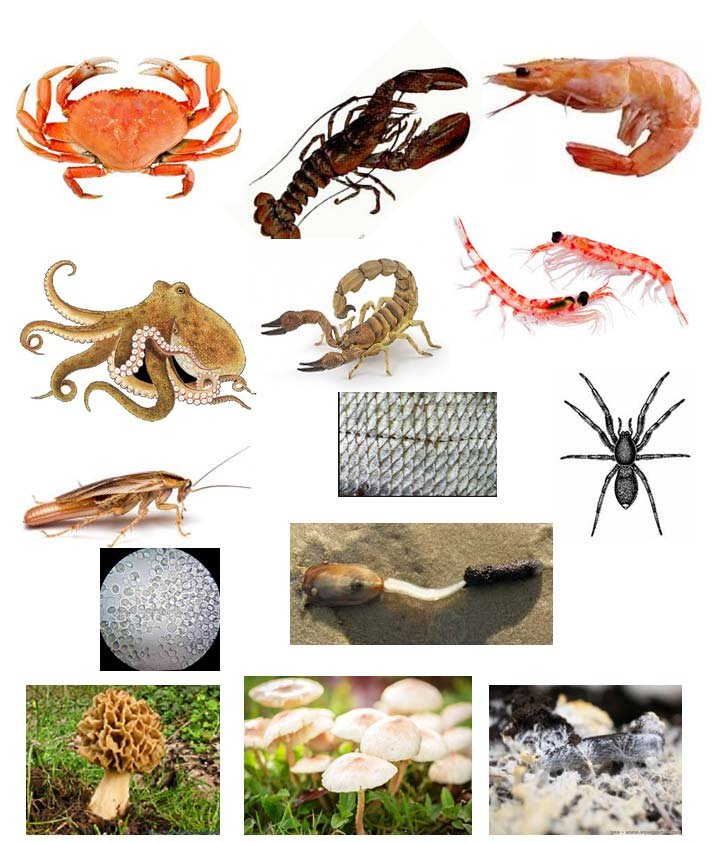 Sources Of Chitin And Chitosan Sea Animals Crustaceans Download Scientific Diagram