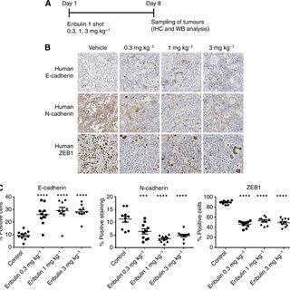 (PDF) Eribulin mesilate suppresses experimental metastasis