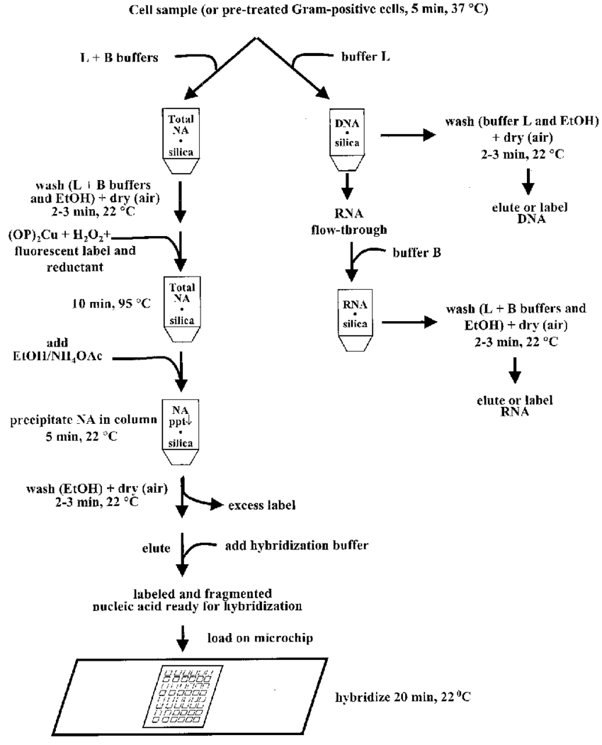 hight resolution of flowchart of the isolation fractionation fragmentation and labeling of nucleic acids with subsequent