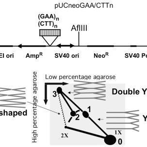 (PDF) Effects of Friedreich's ataxia GAA repeats on DNA