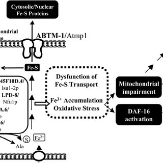 Depletion of abtm-1 induces accumulation of ferric iron. A
