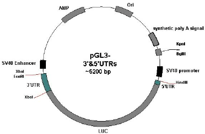 The schematic picture of pGL3 vector containing the Oct4 5