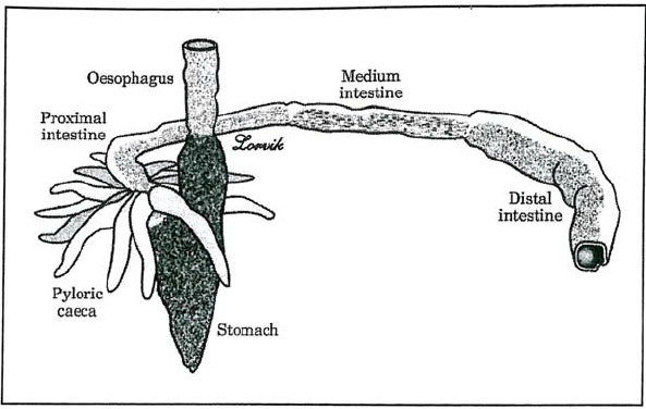 The morphology of the post-gastric alimentary canal in