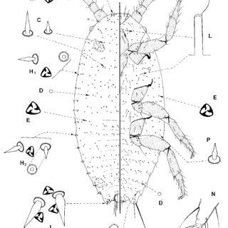 Adult female of Phenacoccus solenopsisTinsley, from