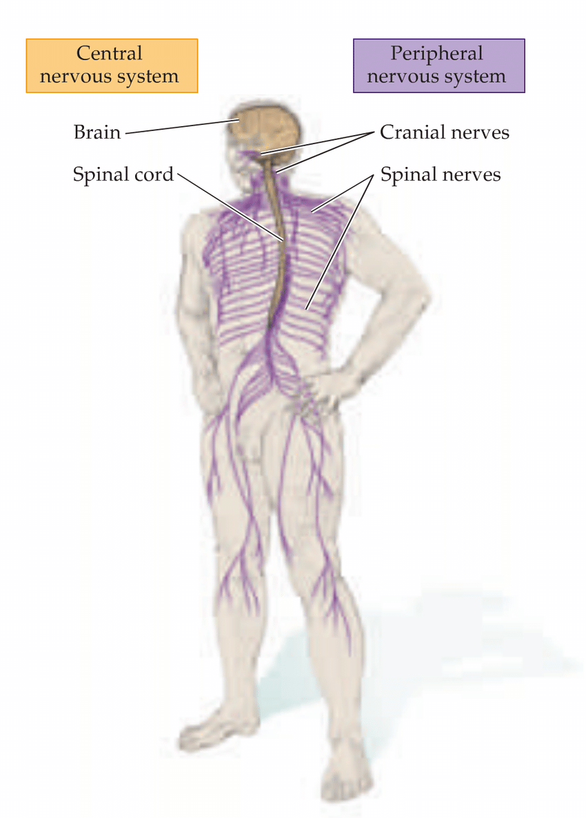 medium resolution of 1 the the principal regions of human s central nervous system