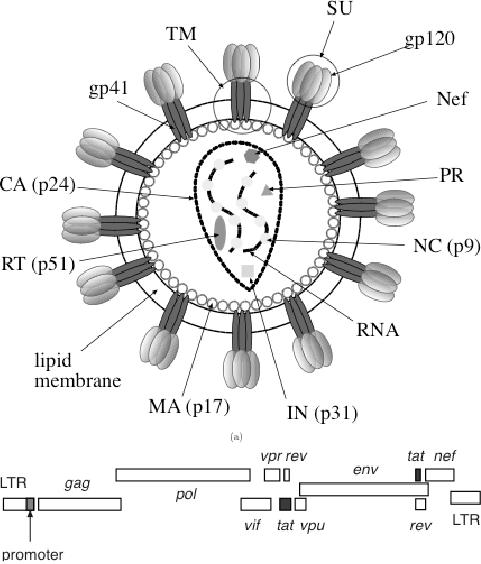 hiv p24 antigen diagram