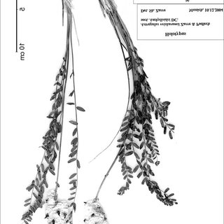 (PDF) Two new species of Astragalus sect. Anthylloidei