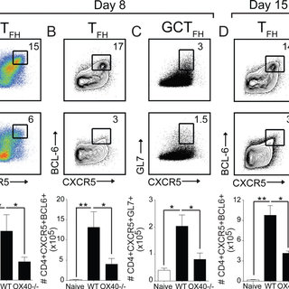 OX40 is essential for optimal development of the GC B cell