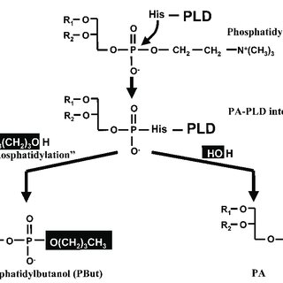 PLD-catalysed hydrolysis and transphosphatidylation