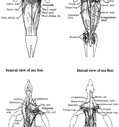 skeletal muscle anatomy of seals and sea lions biopsy samples of organs diagram to label lion organs diagram [ 850 x 1439 Pixel ]