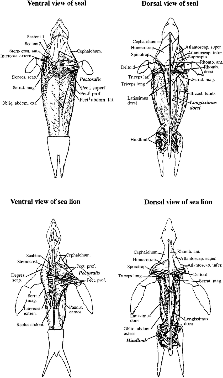medium resolution of skeletal muscle anatomy of seals and sea lions biopsy samples of organs diagram to label lion organs diagram