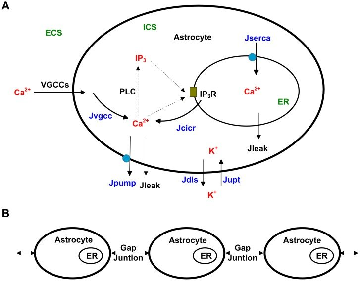 (A) As to the single astrocyte, Ca2+ influx through