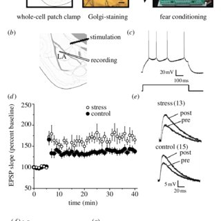 (PDF) Stress enhances fear by forming new synapses with