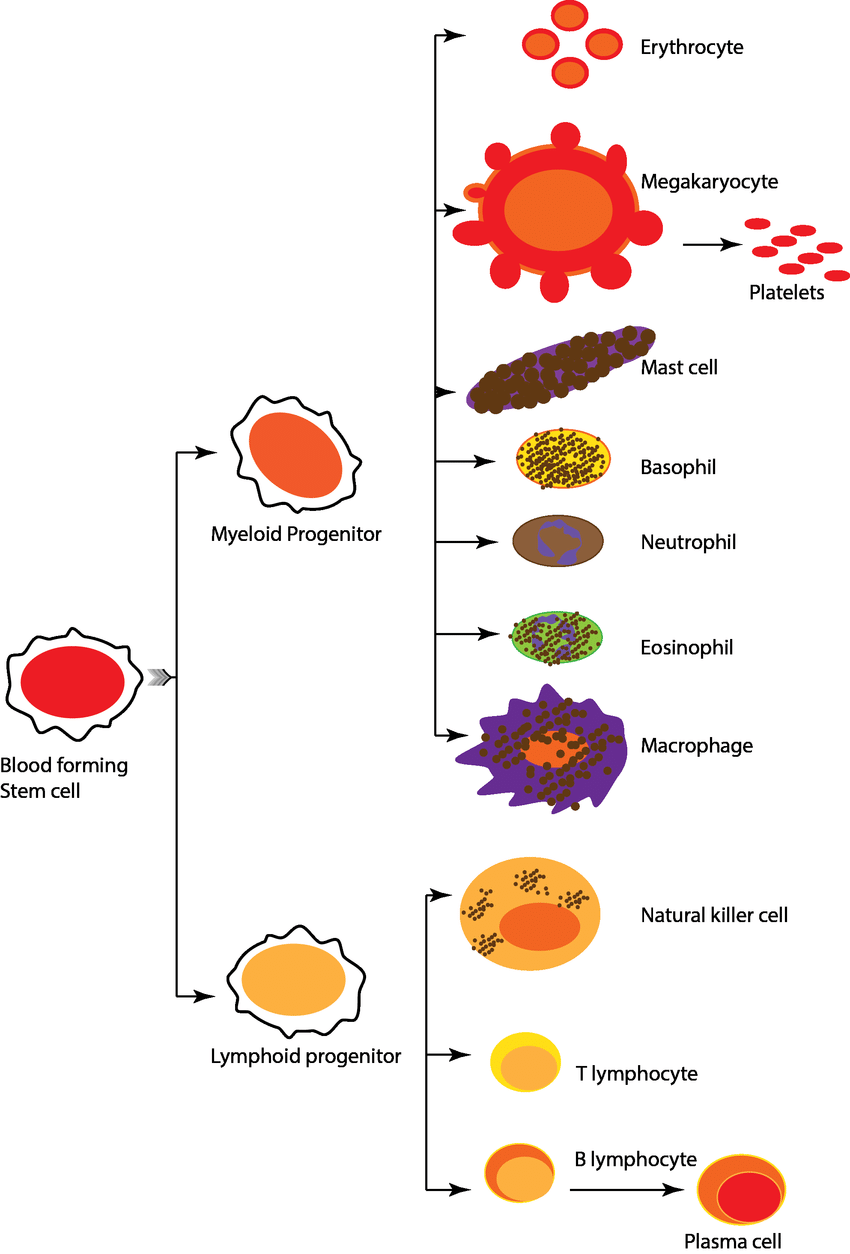 hight resolution of different blood cell types and their origin