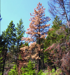 fading ponderosa pine tree from bark beetle attacks 1 year after fire no needles on [ 850 x 1133 Pixel ]
