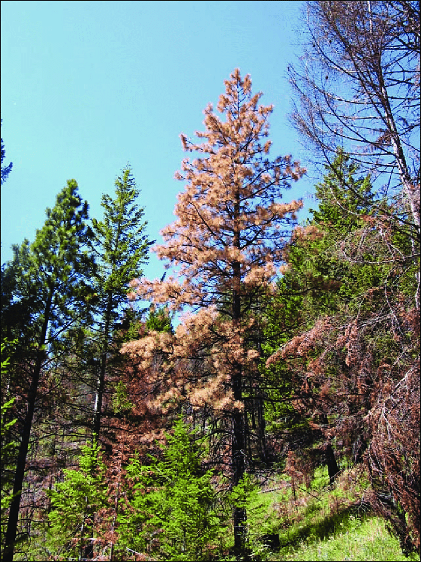 hight resolution of fading ponderosa pine tree from bark beetle attacks 1 year after fire no needles on